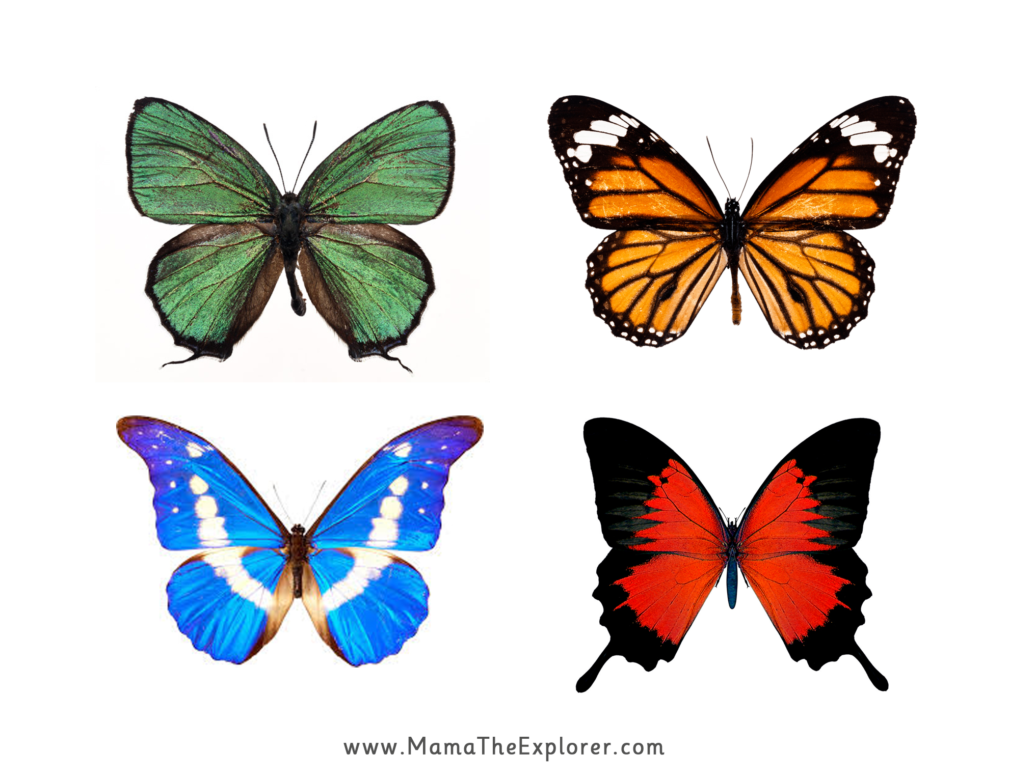 graphic regarding Butterfly Printable identified as PRINTABLE: BUTTERFLY MATCHING Hard work Mama The Explorer